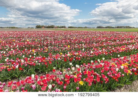 Dutch landscape with show garden of several lines varicolored tulips
