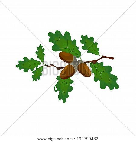 Green oak branch with acorns. Volumetric drawing without a mesh and a gradient. Isolated on white background. Vector illustration