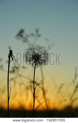 Couple dandelions. Dandelion silhouette in sunset sky. One dandelion with single fluff