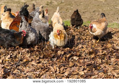 Chickens on the traditional free range poultry farm