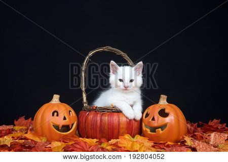 White kitten sitting in a pumpkin wicker basket with paws over edge looking at viewer fall leaves and jack o lantern style pumpkins with black background. Autumn Halloween theme