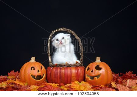 White kitten sitting in pumpkin wicker basket scrunching face so ears do not touch handles of basket. Fall leaves and jack o lantern style pumpkins with black background. Autumn Halloween theme