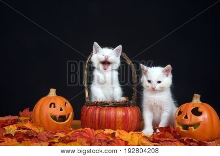 White kittens one in basket looks like laughing hysterically one sitting next to basket looking down towards leaves jack o lantern style pumpkins on each side black background. Autumn Halloween