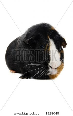 Close Up Of Guinea Pig