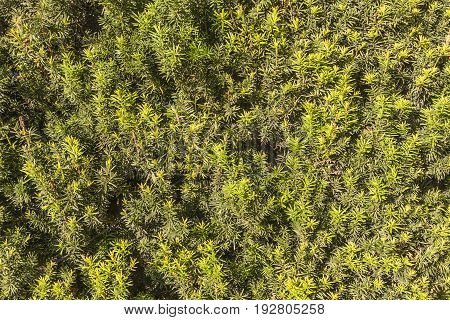 Green branches and leaves of a bush yew tree for background