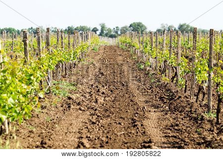 Rows Of Young Grape Vines Growing. Grapes Vines Being Planted. Vineyard