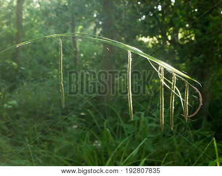 Dangling Grass Single In Sun Light Special