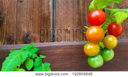 Shrub of tasty green yellow orange red summer bio tomatoes. Delicious fresh and juicy vegetables. Wooden background from farming agriculture. Perfect organic food for vegetarian or vegan people.