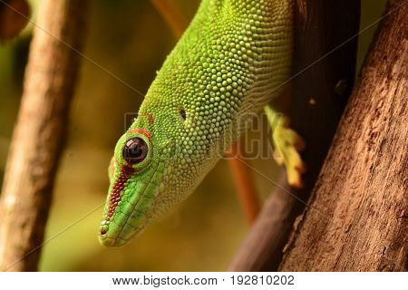 A close up view of a Madagascar day gecko