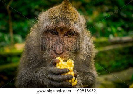 Close up of a long-tailed macaques Macaca fascicularis in The Ubud Monkey Forest Temple eating a cob corn using his hands, on Bali Indonesia.