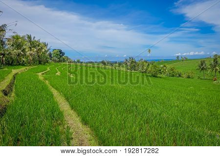 Green rice field close up. Rice in water on rice terraces, Ubud, Bali, Indonesia.