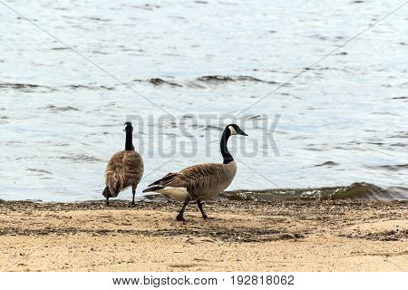 two barnacles gooses walking on the sand