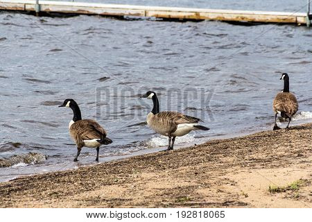 three barnacle gooses walking on the sand