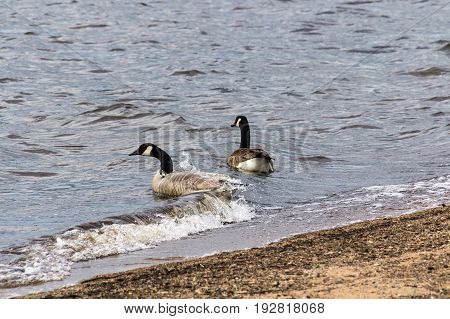 two barnacle gooses swiming on the lake