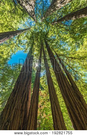 Giant redwoods in Muir Woods National Monument near San Francisco, California, USA