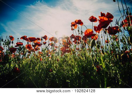 Summer Flower Field With Red Poppy On Blue Sky