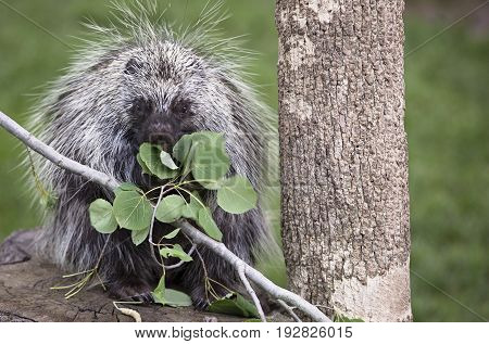 Close up image of a North American porcupine eating Aspen leaves
