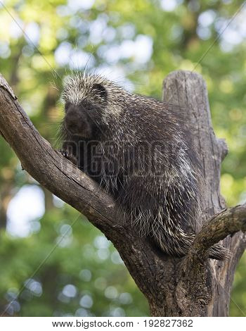 Close up image of an adult, North American porcupine