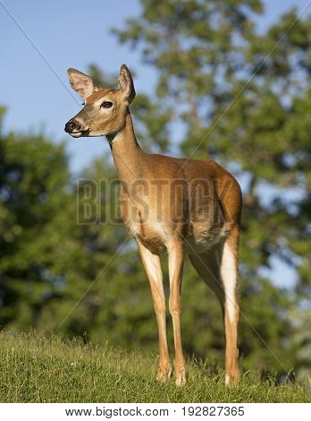 White-tailed deer doe, stands on a hillside in evening light.