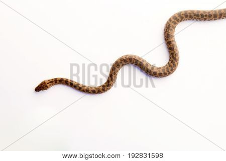 Children's Python - Young Snake On White Background