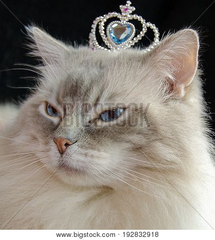close view of ragdoll cat wearing a jeweled crown on head