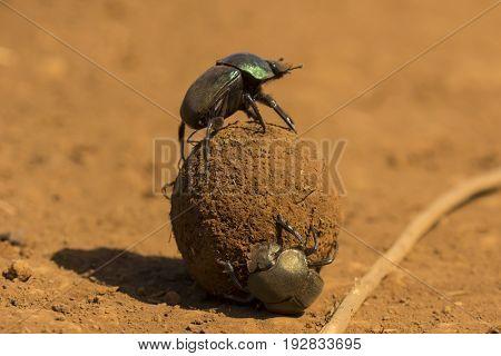 Dung beetles roll a dung ball
