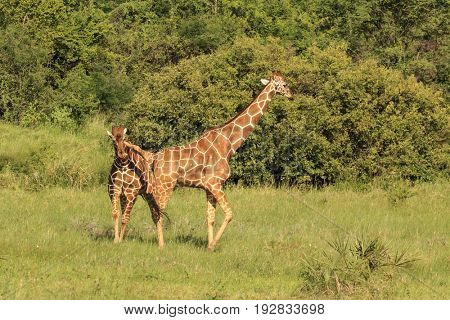 Two male Giraffes fight. One gets its neck under the others leg, lifts it and turns to try to push it over