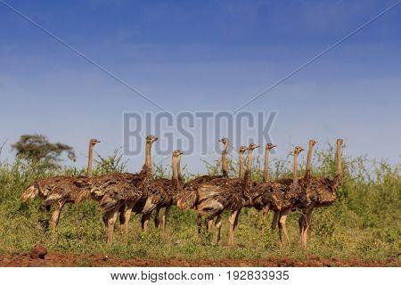Ostrich. Flock of ostriches