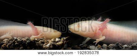 Axolotl ( Ambystoma mexicanum) in an aquarium