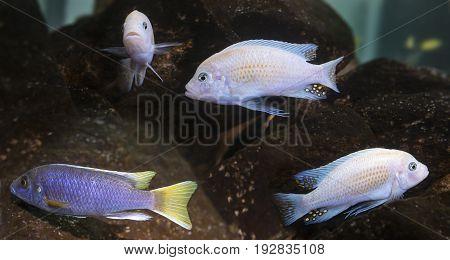 cichlids aquarium fish (Malawi)  - close up