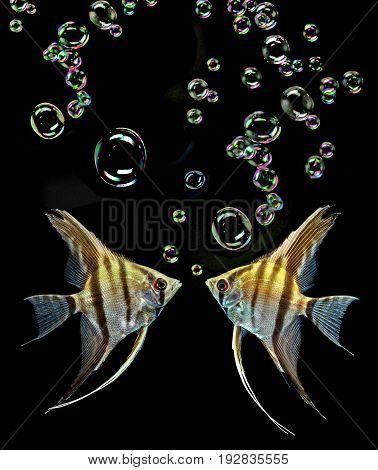 Angelfish (Pterophyllum scalare) isolated on black background