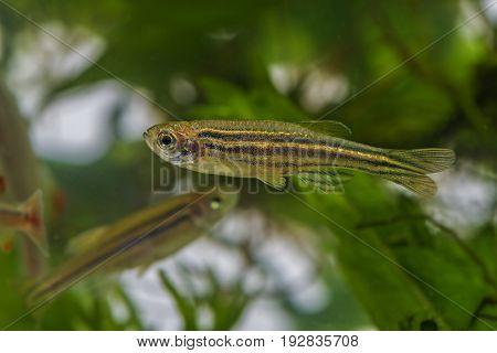 Danio rerio an aquarium fish close up