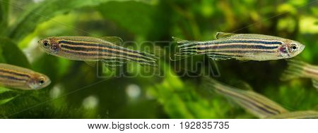 Danio rerio aquarium fish close up in detail