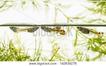 Guppy Barbados Millions Million fish - (Poecilia reticulata)