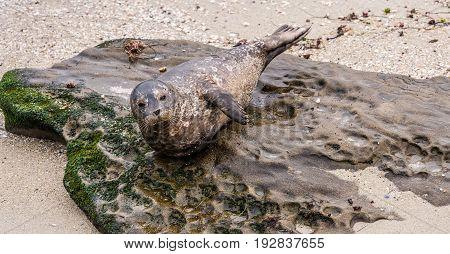 Harbor Seal, Phoca vitulina richardsi,  posing on the rocky beach in La Jolla, California, USA