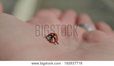 Red ladybug on the hand, macro and closeup photography