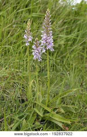 Common Spotted Orchid - Dactylorhiza fushsii Three plants showing spotted leaves