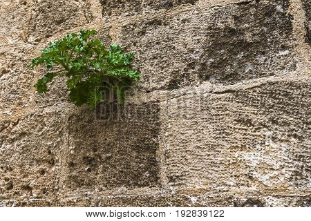 Between the ancient stones of the mediaeval walls broke a small green sprout.