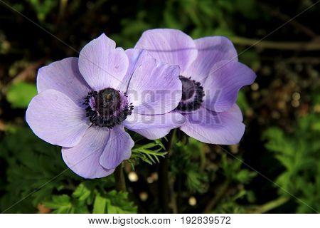 Horizontal image of beautiful purple anemone flowers in garden