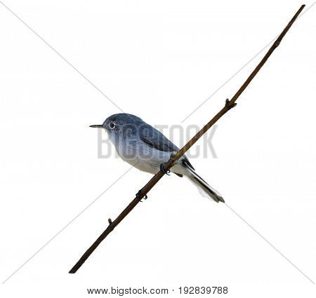 Blue-gray Gnatcatcher  on a branch isolated on white background