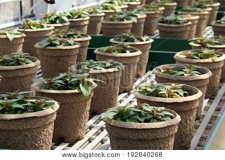 Horizontal image in rows of potted plants, starting to grow under perfect conditions of nursery.