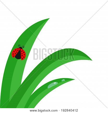 Fresh green grass stalk close up. Water drop set. Morning drop set. Ladybug Ladybird insect. Cute cartoon baby character. Garden nature decoration element Flat design White background. Isolated Vector