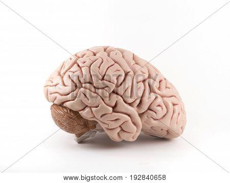Brain model for neurology education on white