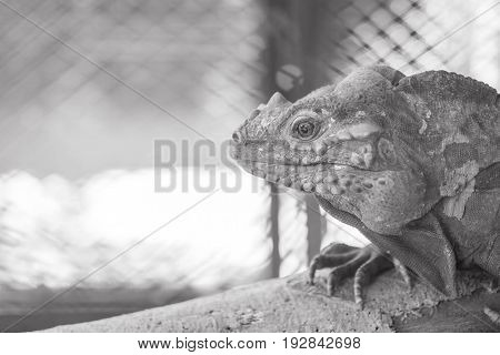 Closeup chameleon cling on the timber on blurred animal cage textured background in black and white tone with copy space