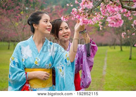 Japanese Girls Enjoy Cherry Blossoms Tree.