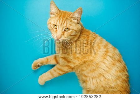 Red cute cat with indifferent face looking in camera. Careless red-headed pussy fat feline with long ears and luxurious whiskers. Domestic striped tabby animal