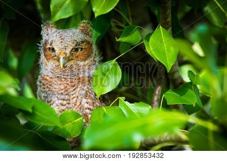 a baby screech owl perched in a pear tree