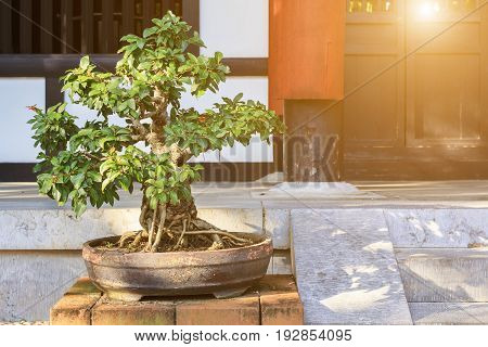Bonsai tree in the clay pot with sunlight background.