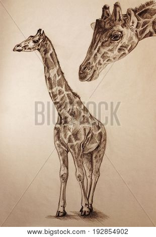 standing giraffe (Giraffa) and animal head pencil drawing with paper texture