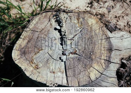 Close-up tree stump. Deforestation. Texture wallpaper. The felled stump.